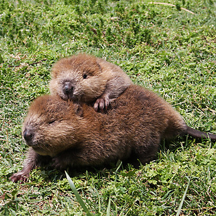 facts about beavers beaver facts havahart® Eurasian Beaver Location other photos beaver · beaver · beaver