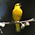 Singing Yellow Warbler