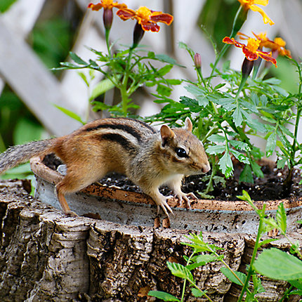 How To Keep Chipmunks Out Of Garden How Do I Keep Chipmunks Out Of My Garden Questions And