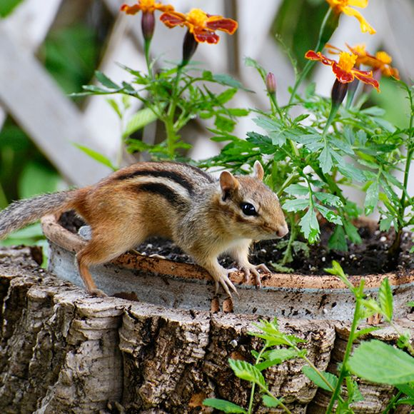 How To Keep Chipmunks Out Of Garden Keeping The Peace Between Gardeners And Chipmunks The