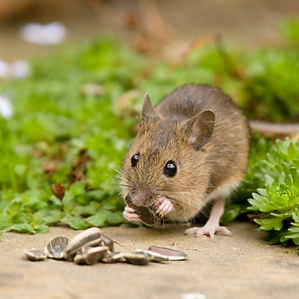 How to get rid of mice mouse removal havahart us other photos mouse mouse in garden ccuart Image collections