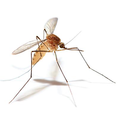 mosquito in Books