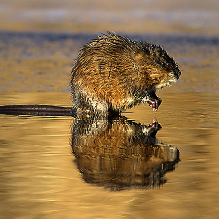 Facts About Muskrats