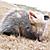 Snarling Opossum