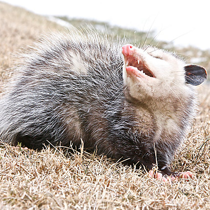 Other Photos Snarling Opossum