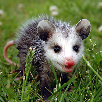 Other Photos Snarling Opossum Baby