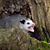 Opossum Showing Its Teeth