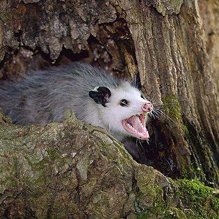 ... Opossum Showing Its Teeth