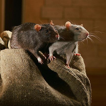Baits for Rats | Rat Baits | Havahart® US