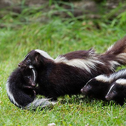 skunk family - Skunk Pictures