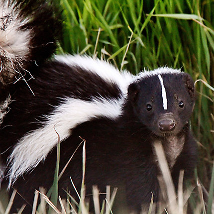 Image result for skunk