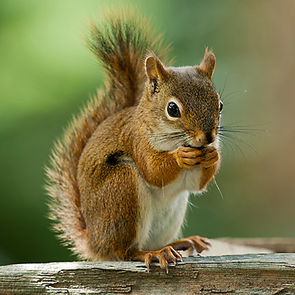 facts about squirrels squirrel facts havahart