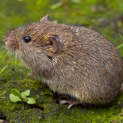 How to Get Rid of Voles | Vole Removal