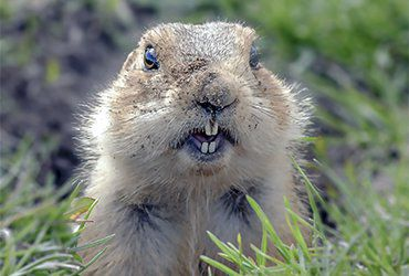 Facts About Gophers | Gopher F...