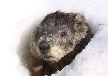 Image result for groundhog burrow in winter