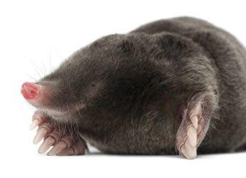 How To Get Rid Of Moles Moles In Garden Havahart 174