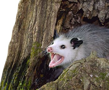 Facts About Opossums | Opossum Facts | Havahart®