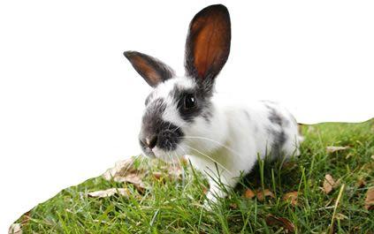 Cottontail rabbit habitat - photo#37