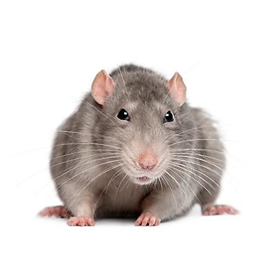 Facts About Rats Rat Facts Havahart 174
