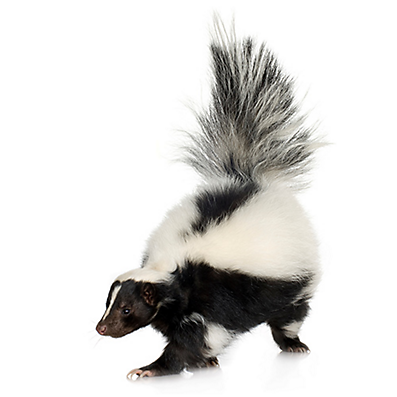 Skunk in the wild