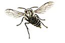 Bald-Faced Hornet