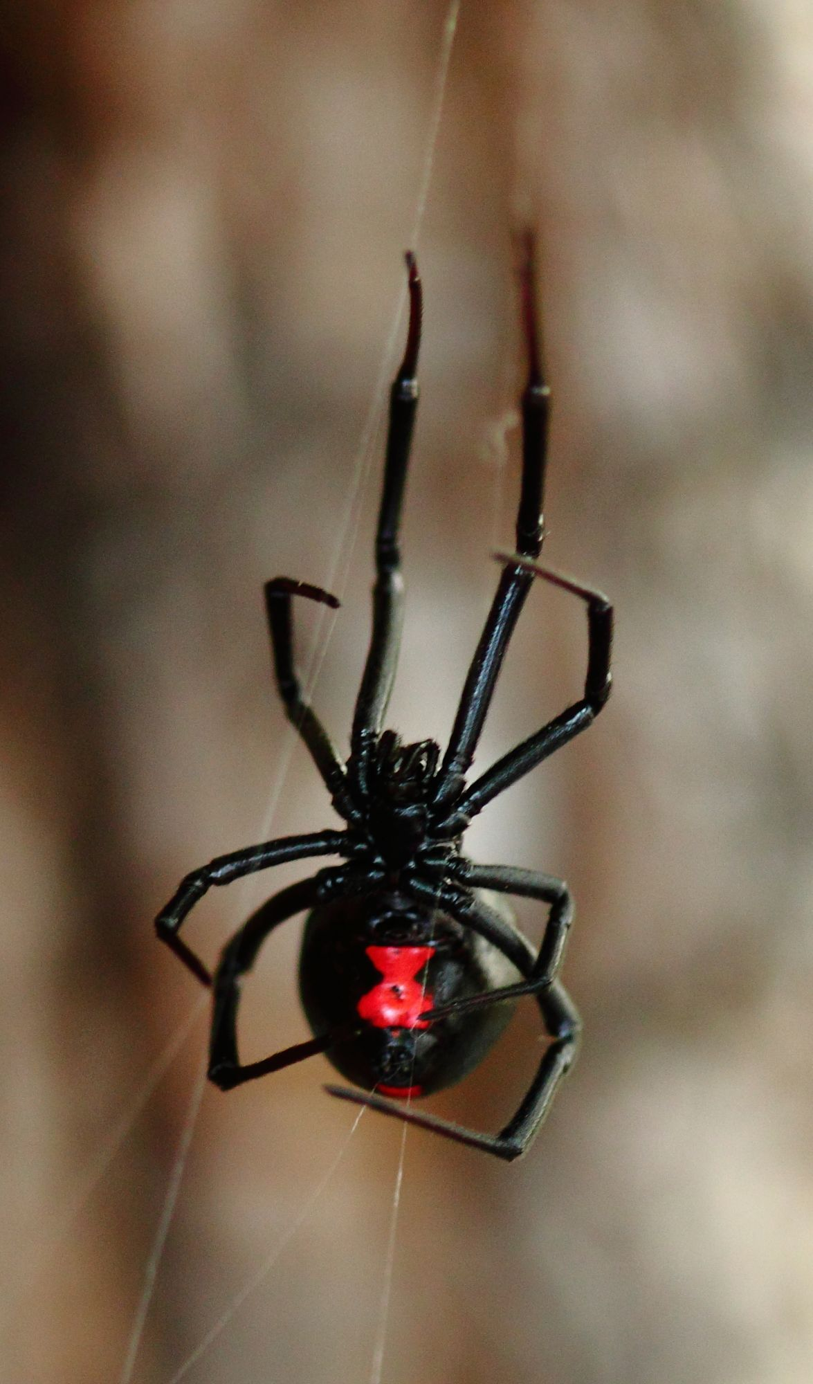 Black Widow Web
