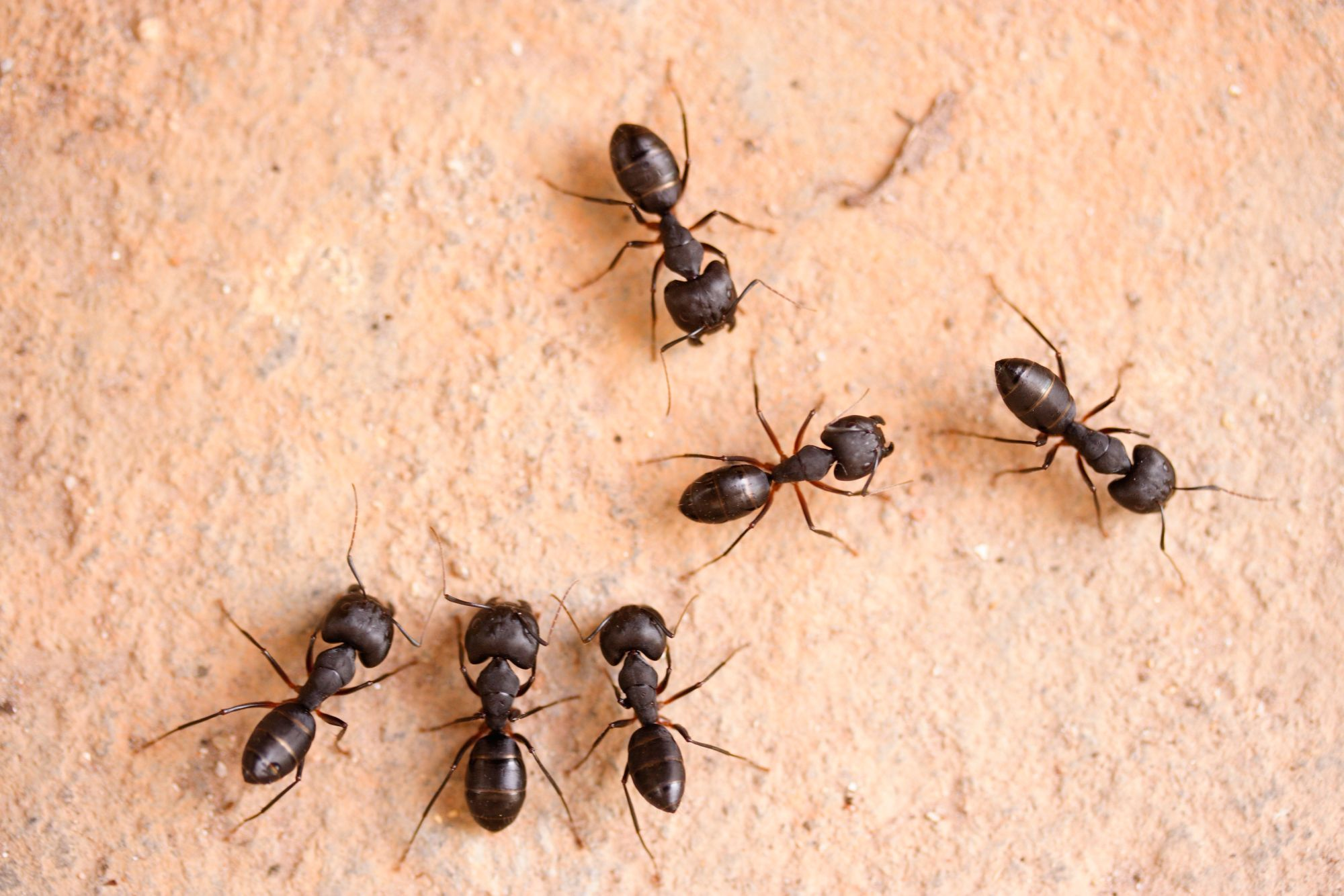 How to Kill Carpenter Ants: 12 Steps (with Pictures)