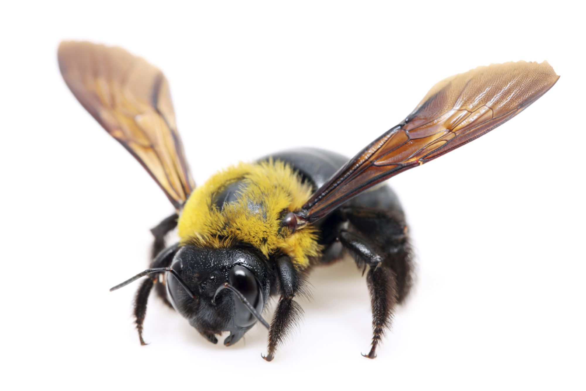Carpenter Bee Appearance