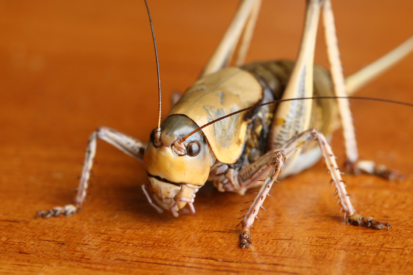 how to get rid of crickets treat for crickets