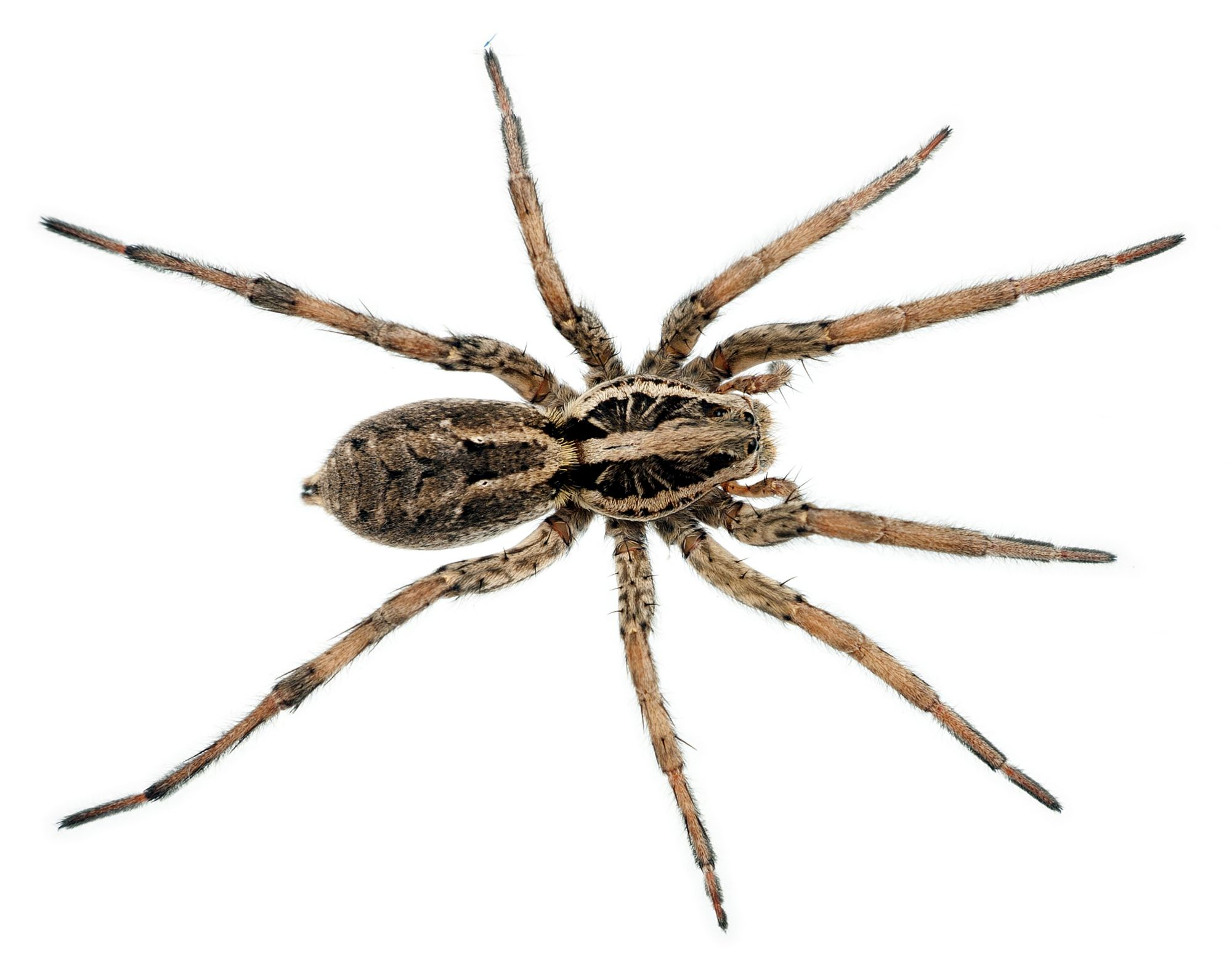[Image: ter-insects-wolf-spider-article-2]