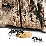 Finding Ant Nests