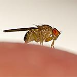 Identify Fruit Flies