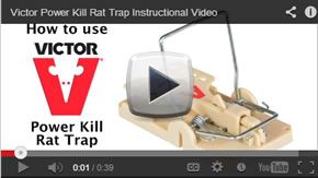 how to set a victor rat trap