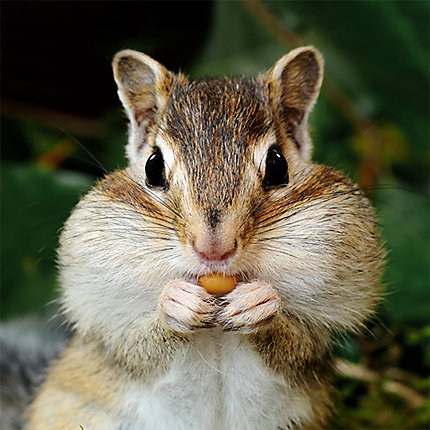 Facts About Chipmunks | Chipmunk Facts | Havahart US