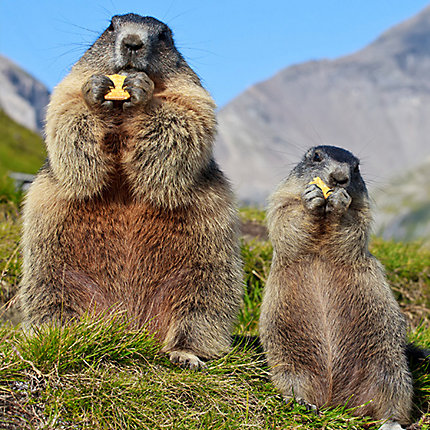 Facts About Groundhogs Groundhog Havahart