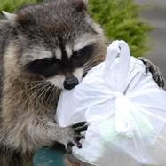 A raccoon digging into a trash bag