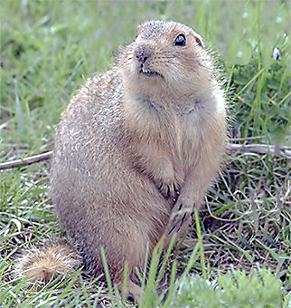 Facts About Gophers Gopher Facts Havahart 174