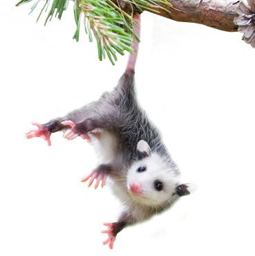 How To Get Rid Of Opossums Opossum Removal Havahart Us
