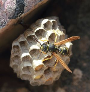 Paper Wasp Appearance